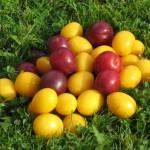wild-plums
